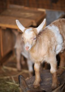 Free Barn Yard Farm Animal Baby Billy Goat Royalty Free Stock Photo - 7875945