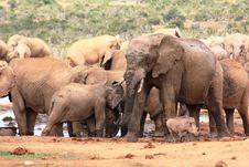 Free Elephants Muddy Stock Photography - 7876042