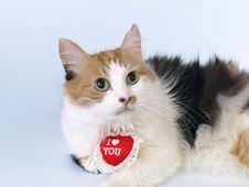 Tricoloured St Valentine S Day Cat Stock Photos
