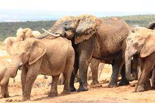 Free Social Elephants Stock Image - 7877191