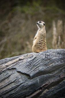 Meerkat Keeps Watch Royalty Free Stock Photography