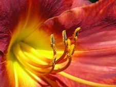 Free Red Lily Stock Photography - 7878162