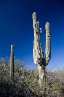Cactus In Southern Arizona Stock Images