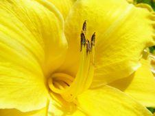 Free Yellow Lily Stock Photo - 7878190