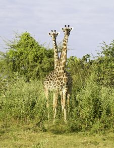 Free Two Headed Giraffe Stock Images - 7878274