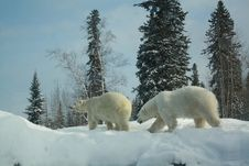 Free Polar Bear 1 Stock Image - 7878341