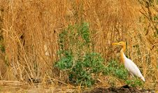 Free White Cattle Egret Royalty Free Stock Photography - 7878557