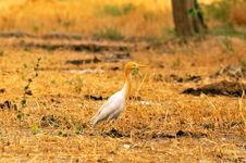 Free Common Cattle Egret Royalty Free Stock Image - 7878616