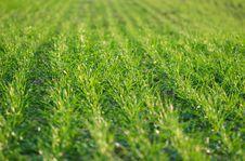 Free Grass Royalty Free Stock Photo - 7879045