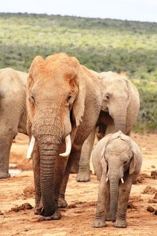 Bull And Calf Elephants Royalty Free Stock Images