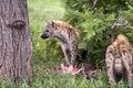 Free Hungry Hyena Stock Image - 7881931