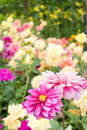 Free Outstanding Pink Flower In The Meadow Royalty Free Stock Images - 7884169