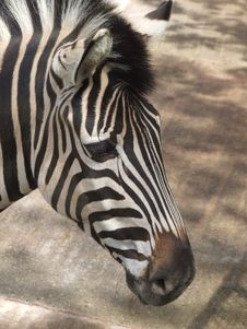 Free Zebra Close Up Royalty Free Stock Images - 7880889