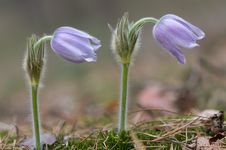 Free Two Pasque Flower Stock Image - 7881611
