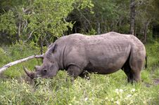 Free Rhino In Kruger Park Stock Photo - 7881850