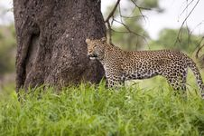 Free Leopard Resting Royalty Free Stock Images - 7881909