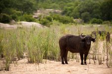Free Buffalo Bull Stock Images - 7881964