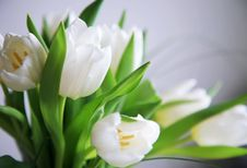Free White Tulips Stock Photography - 7883032