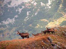 Free Mountain Goats Royalty Free Stock Photo - 7883045