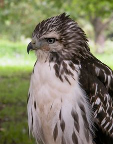 Free Hawk Portrait Royalty Free Stock Photos - 7883348