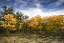Free Populus Euphratica Oliv. Stock Photos - 7883473