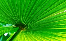 Free Green Palm Leaf Royalty Free Stock Photography - 7884947