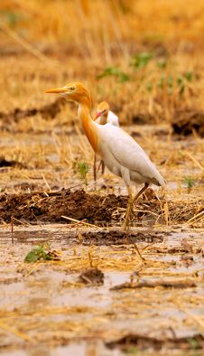 Free White Cattle Egret Stock Image - 7885091