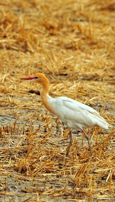 Free White Cattle Egret Royalty Free Stock Photography - 7885167