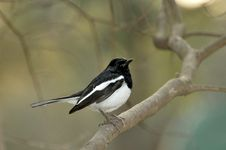 Free Black Robin Stock Images - 7886234