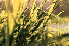 Free Sunset Grass Royalty Free Stock Photo - 7886895