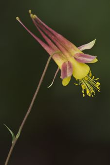 Free 13 Yellow Columbine-2 Royalty Free Stock Images - 7887419
