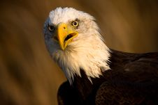 Free Bald Eagle Portrait Royalty Free Stock Photo - 7888135