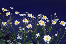 Field Of Chamomile Royalty Free Stock Photo