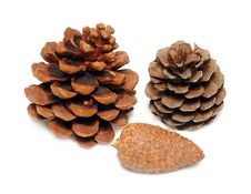 Free Cones Of A Cedar And Pine Royalty Free Stock Photo - 7888635
