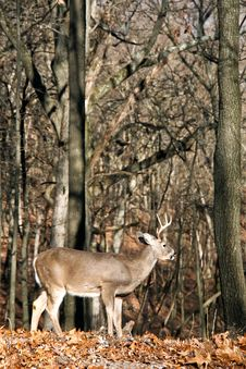 Free Whitetail Buck Royalty Free Stock Photography - 7889157