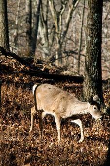Free Deer Royalty Free Stock Images - 7889249