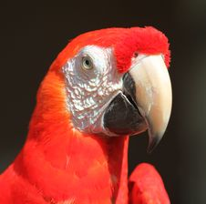 Red Head Parrot Royalty Free Stock Photography