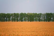 Free Wheaten Field And Trees Royalty Free Stock Image - 7889876