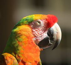 Free Parrot Royalty Free Stock Photos - 7889918