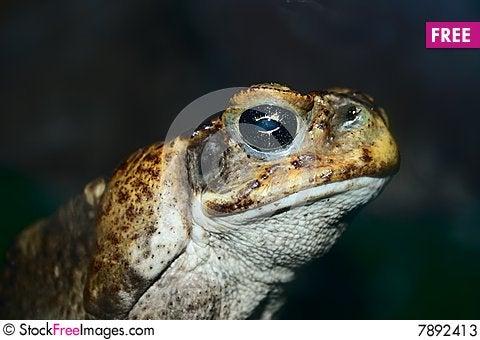 Free Closeup Face Of Big Toad Stock Photos - 7892413