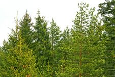 Free Evergreen Wood Stock Photography - 7890152