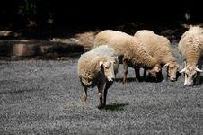Free Sheep Grazing On Grass Royalty Free Stock Photo - 7890225