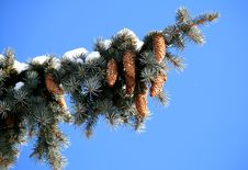 Free Fir Tree Branch Royalty Free Stock Image - 7890236