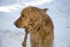 Free Golden In The Snow Stock Photos - 7890483