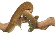 Free Emerald Tree Boa Stock Images - 7890744