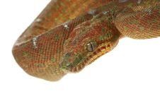 Free Emerald Tree Boa Royalty Free Stock Images - 7890749
