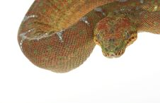 Free Emerald Tree Boa Stock Image - 7890751