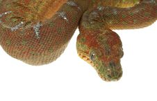 Free Emerald Tree Boa Stock Images - 7890754