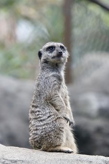 Free Meerkat Sentry Stock Photography - 7891082