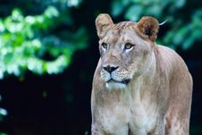 Female African Lion Royalty Free Stock Image